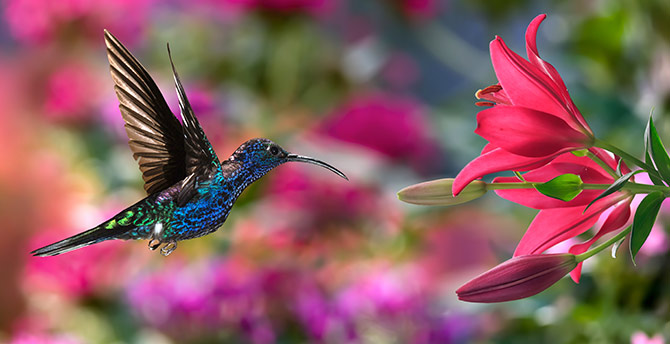 Nature Pictures - Hummingbird