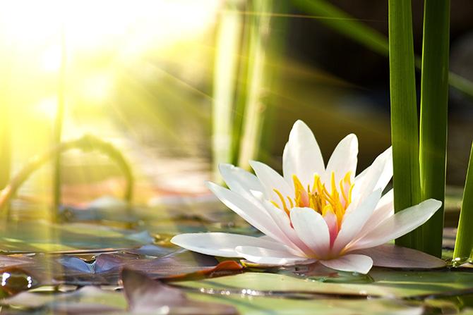 lotus zen pictures