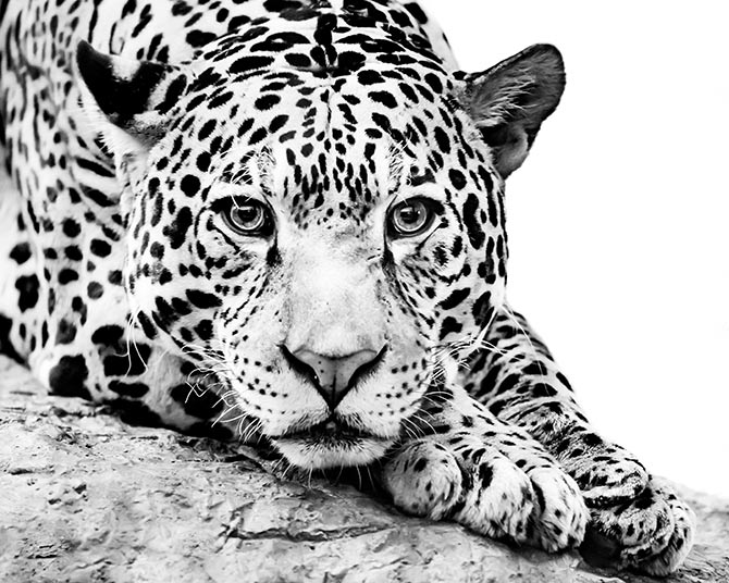 jaguar wildlife art