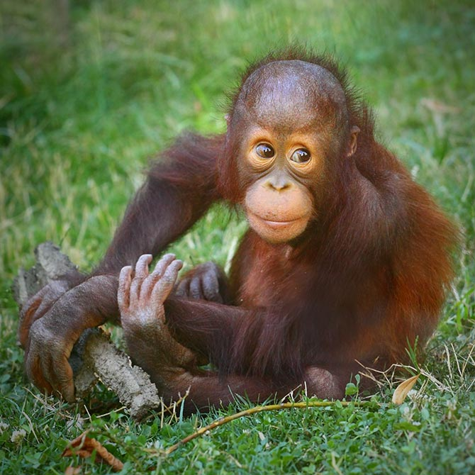 wildlife art orangutan