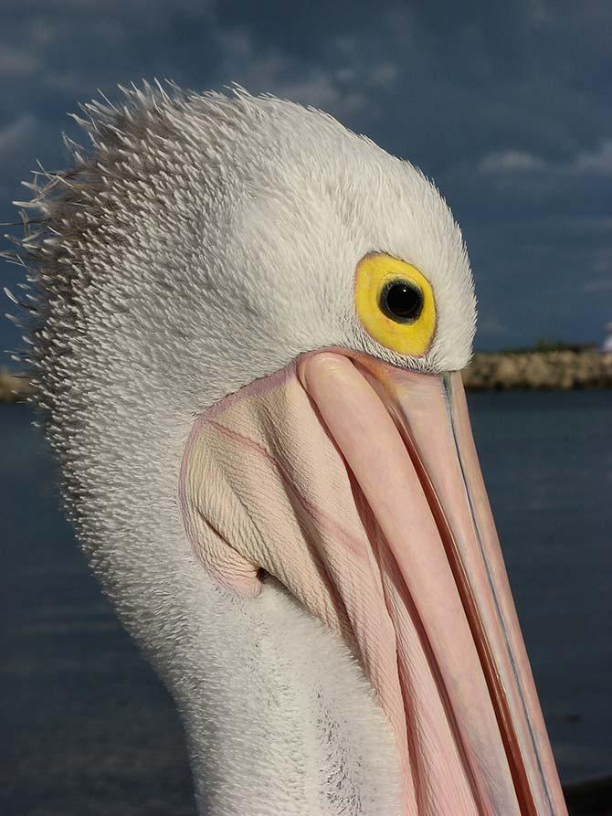 Liz Hubbert - Pelican