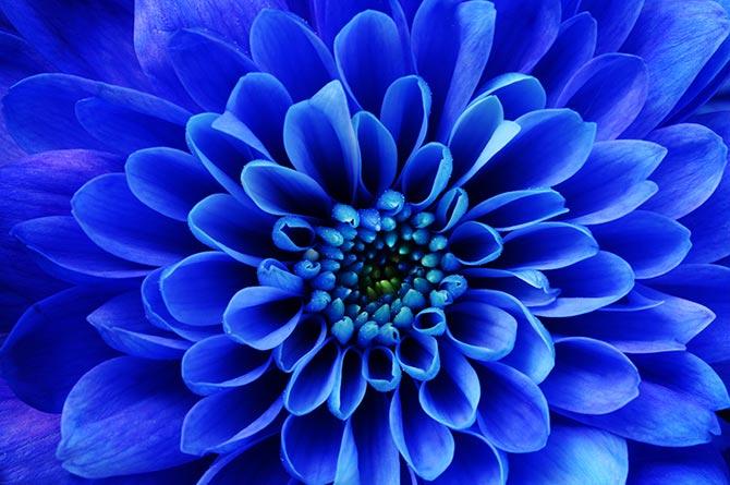 自然图片翠菊